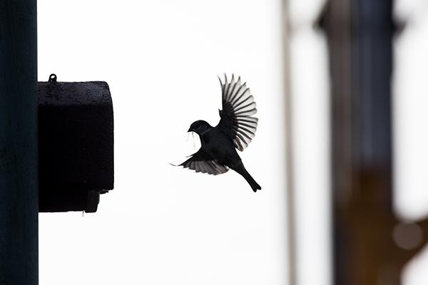 Ein Vogel fliegt im Landeanflug zum Nistkasten