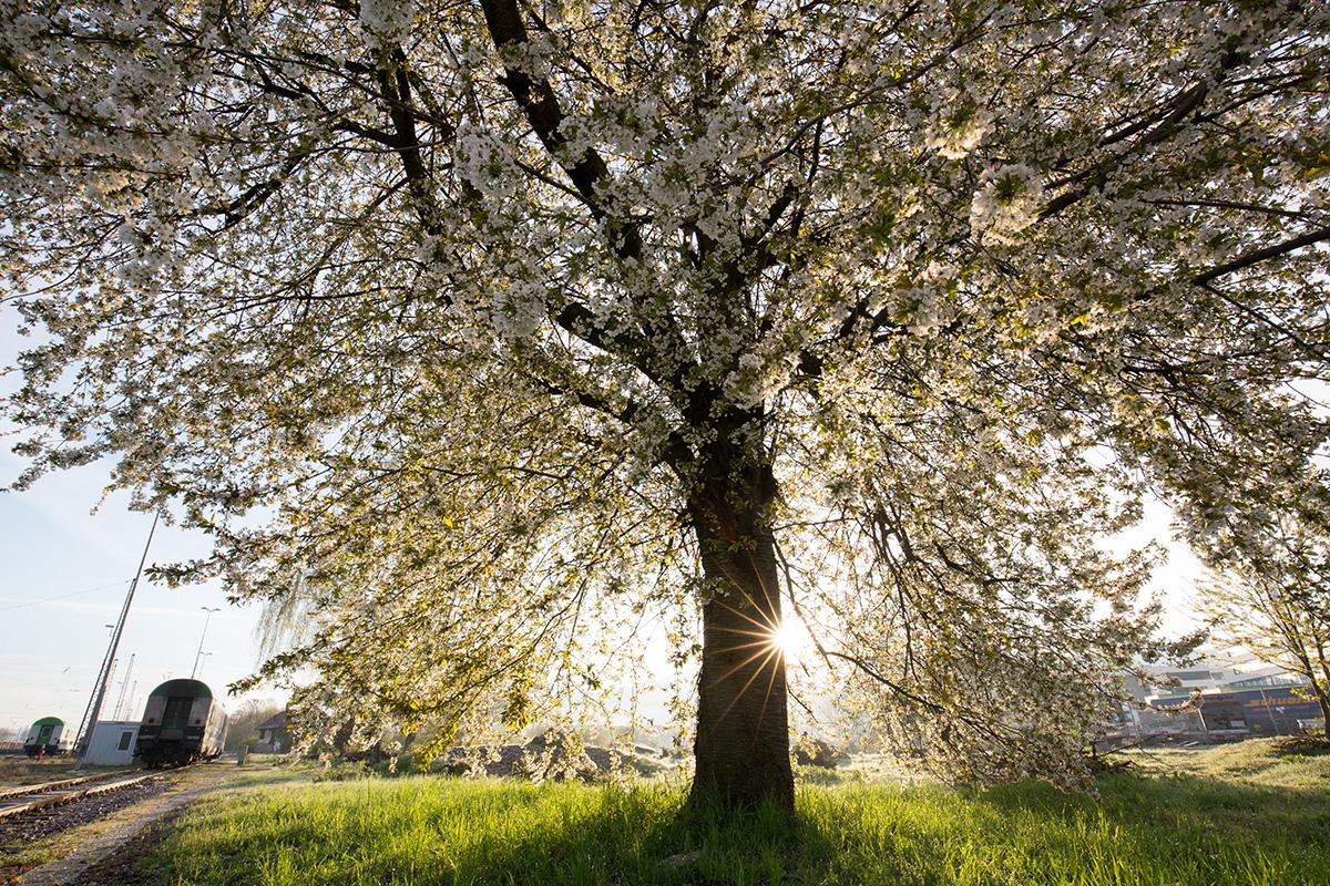 Ein blühender Kirschbaum im Gegenlicht